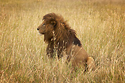 Male lion in tall grass in the Ngorongoro Crater, Tanzania