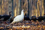 "00845-06503 ""Eastern"" Wild Turkey (Meleagris gallopavo) female albino hen feeding in woods  Marion Co.  IL"