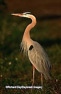 00684-015.19 Great Blue Heron (Ardea herodias)    FL