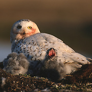 Snowy Owl (Bubo scandiacus) adult with chicks in the nest. Barrow, Alaska