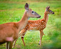 Fawn and Doe looking west. Image taken with a Fuji X-T3 camera and 200 mm f/2 OIS lens.