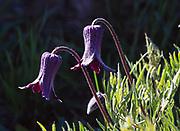 Hairy Clematis or Sugarbowl, Clematis hirsutissima, blooming on slope of Mount Washburn above Antelope Creek, Yellowstone National Park, Wyoming.