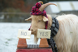 """Boots the fortune telling goat gives their predictions for 2017, at Lanton Hill Farm, Jedburgh. Think this was """"Will Trump visit Scotland""""."""