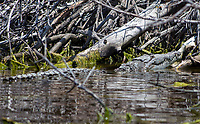 Crocodile in the  Florida Everglades photo by Catherine Brown