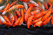 Koi fish in feeding frenzy at edge of pond. RIGHTS MANAGED LICENSE AVAILABLE FROM www.PhotoLibrary.com