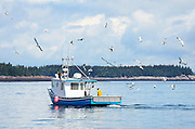 A flock of seagulls wheels behind a lobster boat, waiting for scraps of bait.