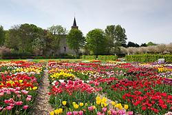 Massed tulip display at Hortus Bulborum, Limmen, Holland