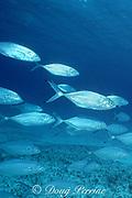 blue runners, Caranx crysos, off Miami, Florida, USA ( Western Atlantic Ocean )
