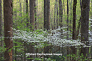 66745-04217 Dogwood trees in spring along Little River Road, Great Smoky Mountains National Park, TN