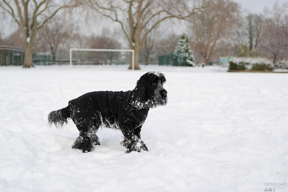 Henry the 8 month old blue roan cocker spaniel puppy enjoying London's snow.