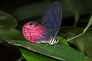 Glass Wing Butterfly, Cithaerias merolina, on rainforest leaf, Iquitos, Peru, Amazon jungle, pink colours, eyespot, clear wing, delicate, fragile.