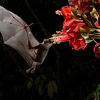 The nocturnal blossoms of a wild durian (Durio kutejensis) are visited by a Cave Nectar Bat (Eonycteris spelaea). Although also attracting bees, birds, and other small pollinators during the day, the flowers of this tree open fully at dusk whereupon they begin to produce copious amounts of rich mango-scented nectar – an enticing draw for a bat with a keen sense of smell and an irresistible sweet tooth. With their ability to travel great distances and visit countless flowers in a single night, nectar-feeding bats play a vital role in the pollination of many rainforest plants. Sarawak, Malaysia (Borneo).