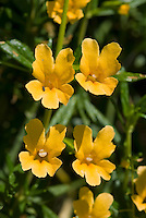 Bush monkeyflower, Mimulus aurantiacus, Mount Diablo State Park, California