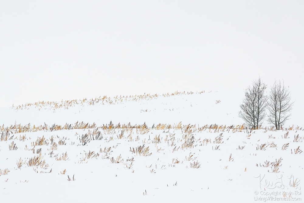 The tops of some golden grasses poke through deep snow covering rolling hills in Ashton, Idaho.