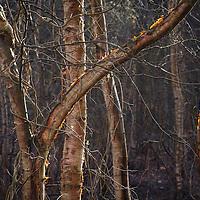 Backlit birch trees at Sutton Heath in Suffolk