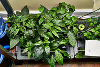 AeroGarden Farm 02, Left. Pepper Plants (122 days). Image taken with a Leica TL-2 camera and 35 mm f/1.4 lens (ISO 500, 35 mm, f/8, 1/30 sec).