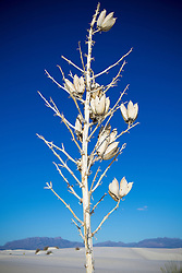 dried Yucca plant in Winter, White Sands, NM
