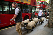 Campaign group Farmers For A Peoples Vote herd a flock of sheep from Mudchute Farm in East London past government building in Whitehall in London, United Kingdom on 15th August 2019. They are concerned about the inpact of a no deal Brexit on farming and agriculture.