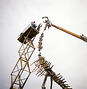 Parts of this 140 -million year-old barosaurus from Dinosaur National Park near Jensen, Utah, once resided simultaneously at three different museums.  Peter May assembles cast for the American Museum.