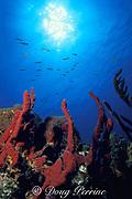 red finger sponges or erect rope sponge, <br /> Amphimedon compressa,<br /> Bahamas ( Western Atlantic Ocean )