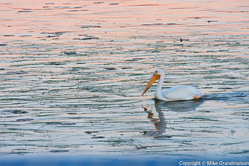 American white pelican (Pelecanus erythrorhynchos) on Lake of the Woods at dawn<br />Nestor Falls<br />Ontario<br />Canada