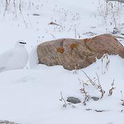 Rock Ptarmigan (Lagopus mutus) Churchill, Manitoba