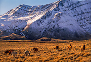 Horses grazing, geological strata highlighted by snowfall, pampa near Los Glaciares National Park, Patagonia, Argentina.