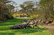 Herd of migrating Blue Wildebeest drinking, Grumeti, Tanzania