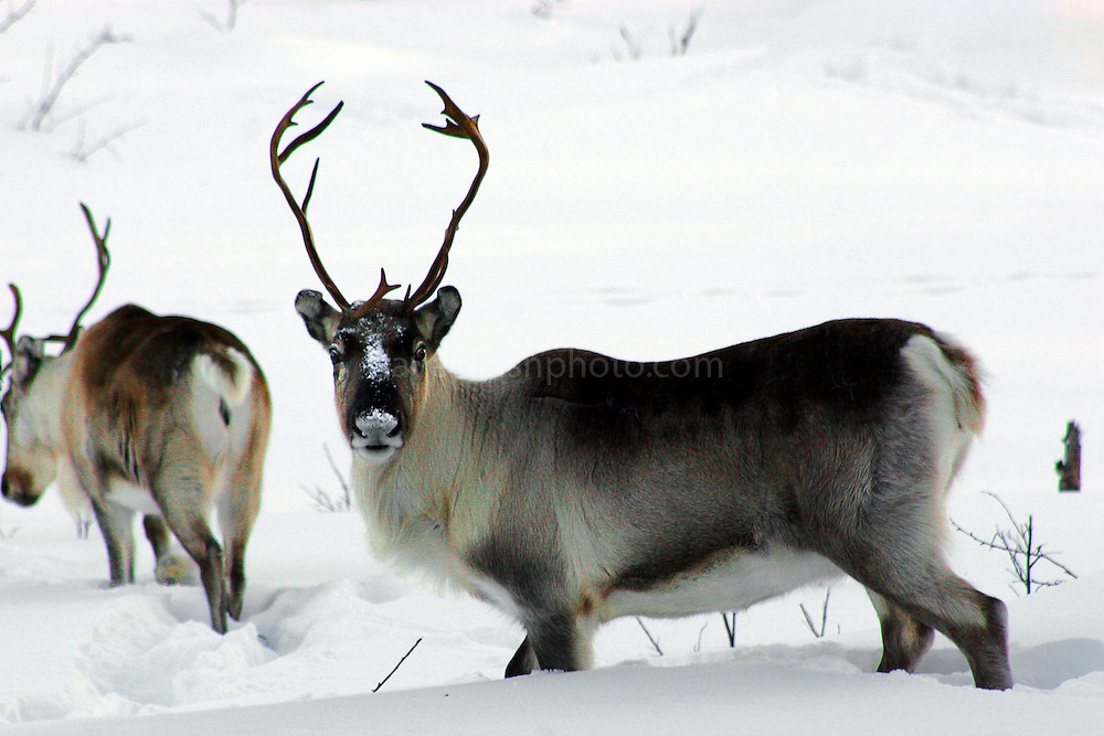 Reindeer or caribou, in Inari, Finland, high above the Arctic Circle. Reindeer are semi-domesticated and herded by the indigenous Sami people of northern Scandinavia. (c) 2005 Dave Walsh. Would you like to use this photo? Please contact me and let me know what you'd like to do!