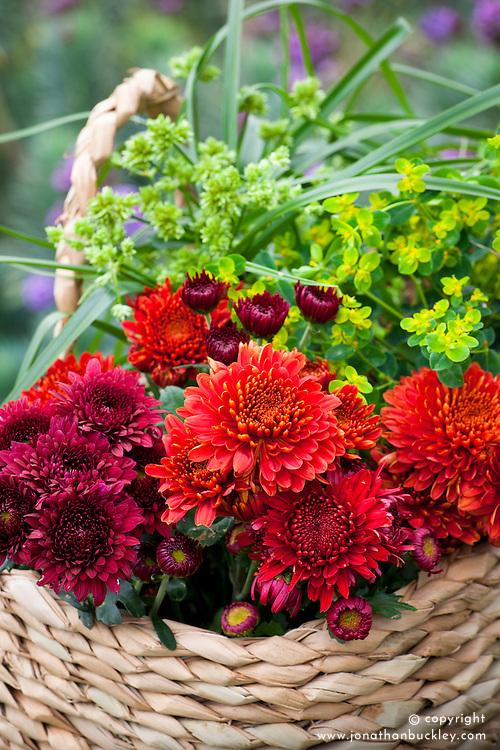 Picked Chrysanthemums in a basket. Chrysanthemum 'Grampie Red', 'Littleton Red' and 'Smokey'