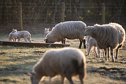 © Licensed to London News Pictures. 23/03/2020. Guyzance, UK. Lambs and sheep feeding at sunrise on a frosty morning on farmland near the hamlet of Guyzance in Northumberland, northern England. Photo credit: Ben Cawthra/LNP