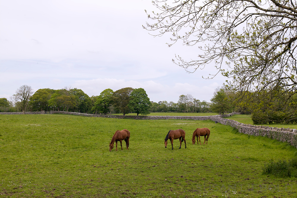 A green field with three horses grazing in Ireland.