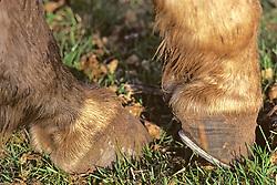 Horses' Hooves