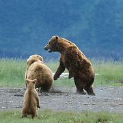 Alaska brown bear (Ursus middendorffi) mother fighting a male bear, with her cubs nearby. Alaska Peninsula, Alaska