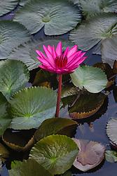 Water Lily, magenta #6 vert