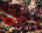 Sea urchins, tidepool, Tongue Point Marine Sanctuary, North Olympic Peninsula, Salish Sea, Washington, USA