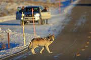 A gray wolf crosses the road in front of Yellowstone visitors during winter.