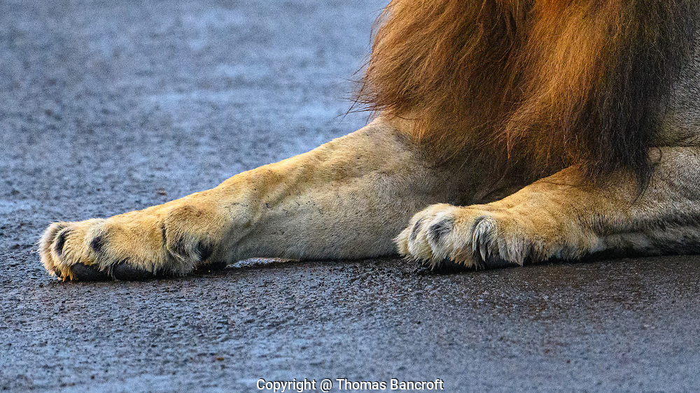 The outstretched Feet of a male African lion