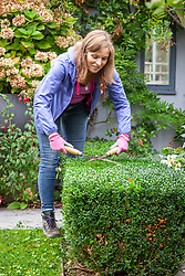 Trimming low box hedges using hand shears. Buxus sempervirens