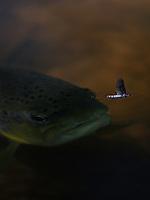 Brown trout (Salmo trutta), Sweden, Västra Götaland, Götene, Dala river, Sweden