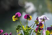flowering garden. Blooming colourful pansies flowers