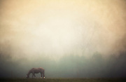 A horse grazing alone in the fog.