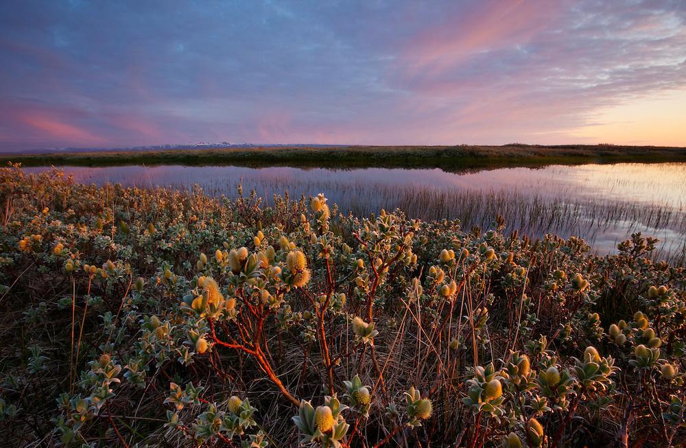 Iceland; Salix lanata; Thingeyjarsyslur; Woolly Willow