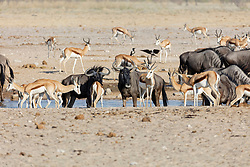 Gnus and Steenboks at Etosha National Park, Namibia, Africa