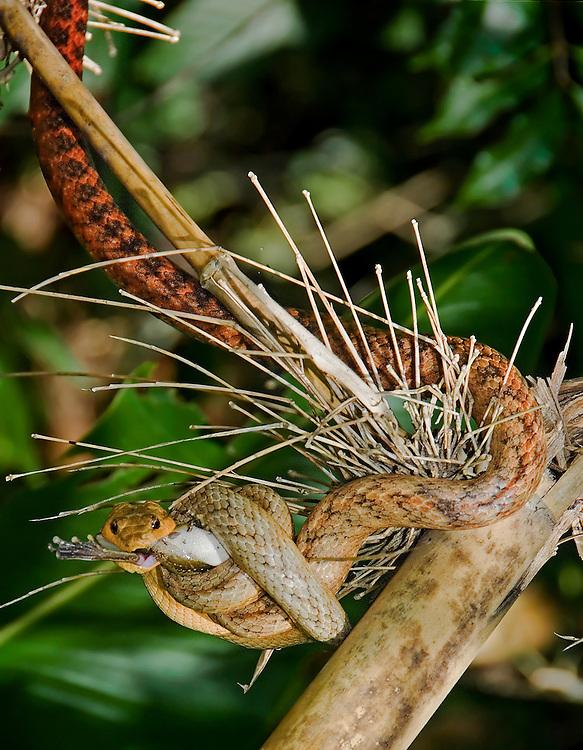 Fandrefiala Snake Eating Frog (Ithycyphus perineti)