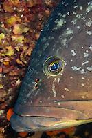 Dusky Grouper (Epinephelus marginatus) - 'endangered' in IUCN Red List - with numerous fish lice (parasitic copepods) on its face<br /> France: Corsica, Lavezzi Islands, Cala di Grecu