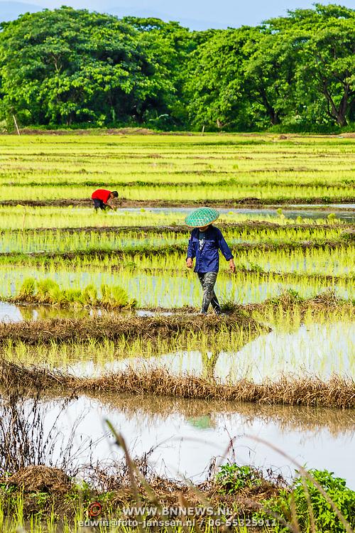 THA/Bangkok/20160729 - Vakantie Thailand 2016 Bangkok, rijstplukkers