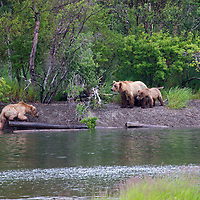 USA, Alaska, Katmai. Grizzly sow and cubs on river