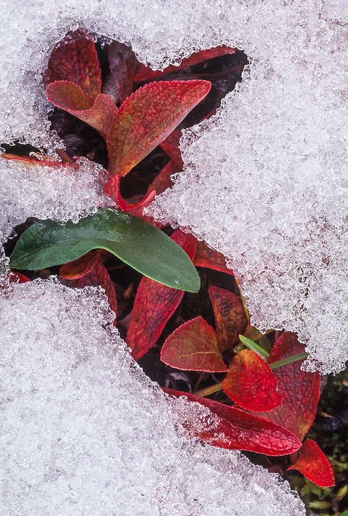 Bearberry and willow leaves after a snowfall, Noatak River area, Gates of the Arctic National Park, Alaska, USA
