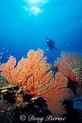 sea fans, Burma Banks, off Thailand, ( Andaman Sea, Indian Ocean ) MR 226